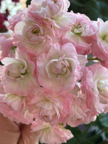 TA-Emmanuelle-roziaziede-pelargonija